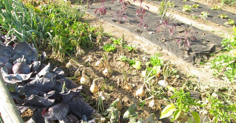 Pěstování zeleniny v zahrádkách jako ušlechtilý sport